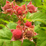 Edible Wild Berries of British Columbia